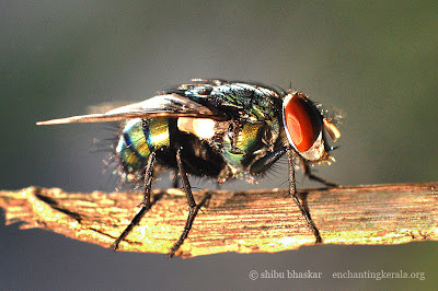 Blue bottle fly shot using our close up filter