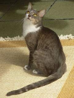 Kucing Brazilian Shorthair