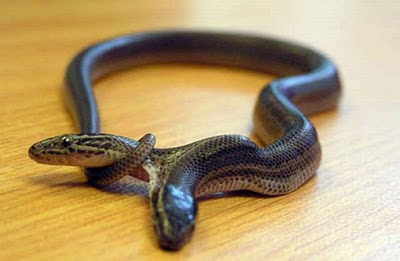two headed snakes 26