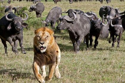 Dikejar Kawanan Kerbau, Singa Jantan Lari Terbirit-birit