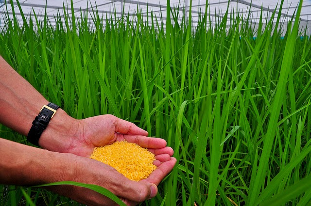 Photo of hands holding golden rice in fron ot plant stems.