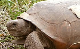 60-year-old Gopher Turtle