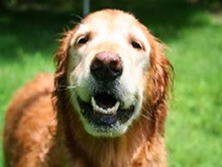 cães com mais idade