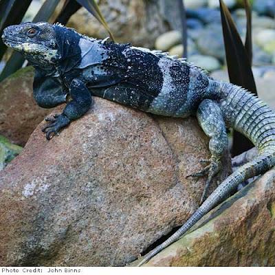 endangered Iguanas