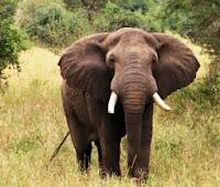big mean elephant stress