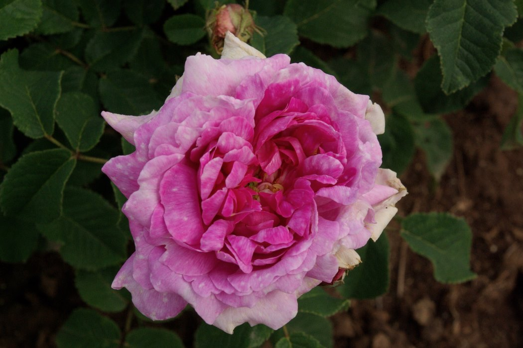 rudolfs park historischer rosen spiele de natur. Black Bedroom Furniture Sets. Home Design Ideas