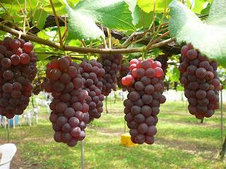 Cara memilih buah anggur kualita terbaik
