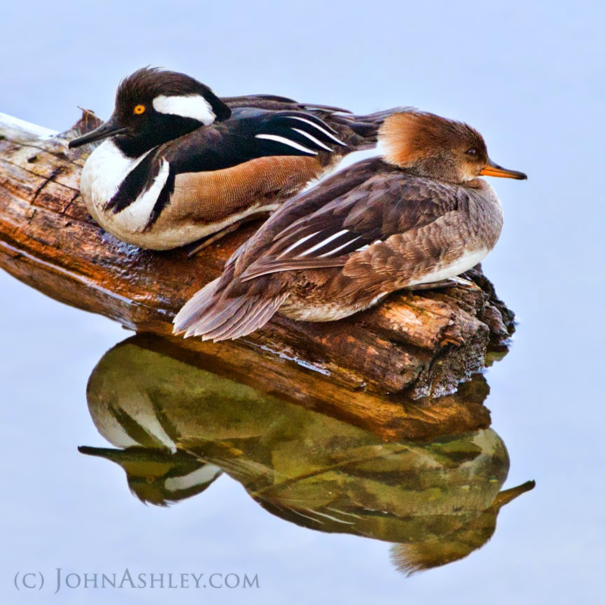 Hooded Merganser pair (c) John Ashley