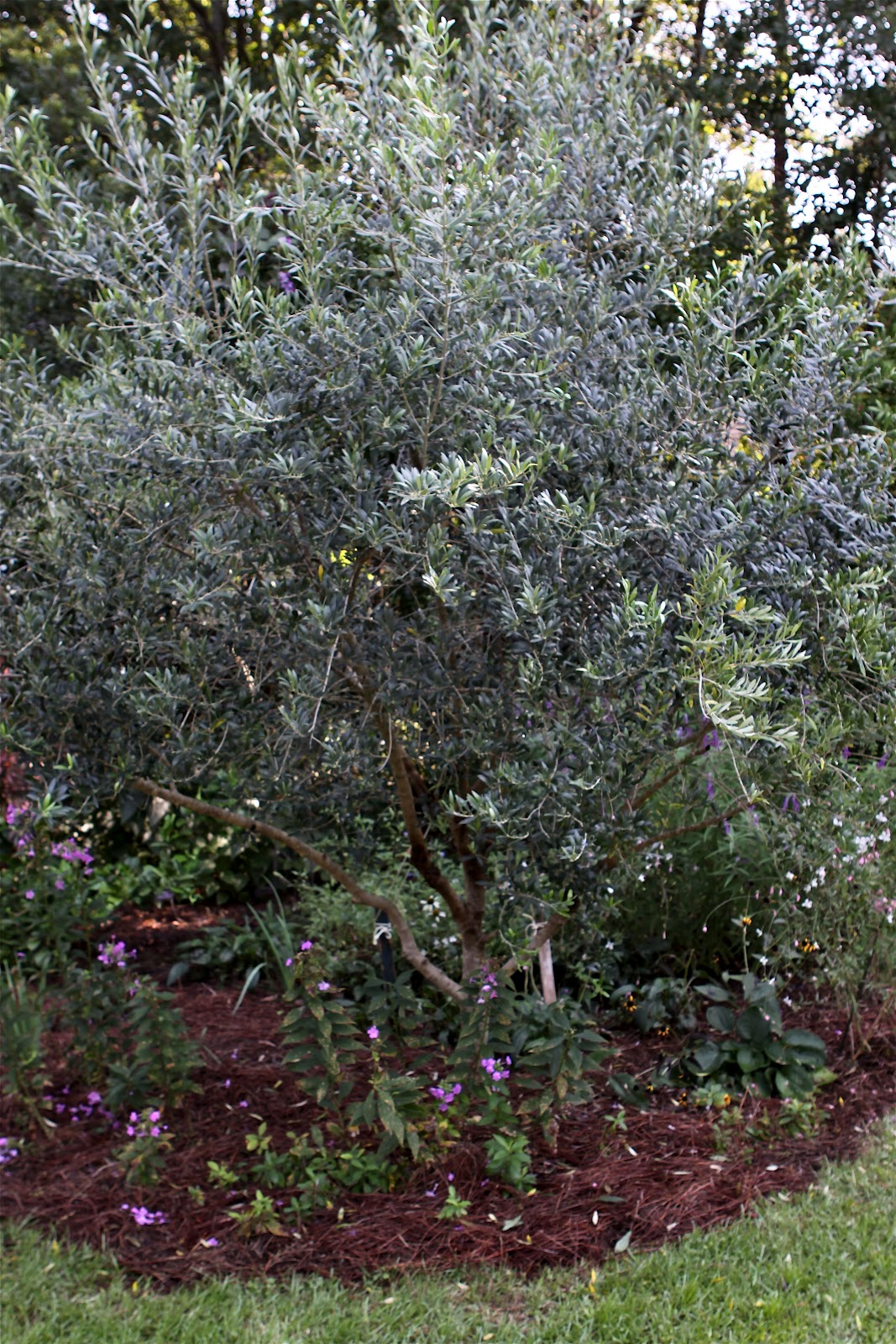 Arbequina olive tree for Pruning olive trees in pots