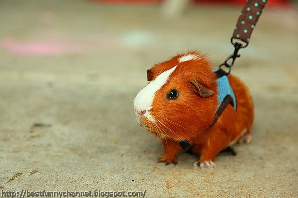 Guinea pig funny.