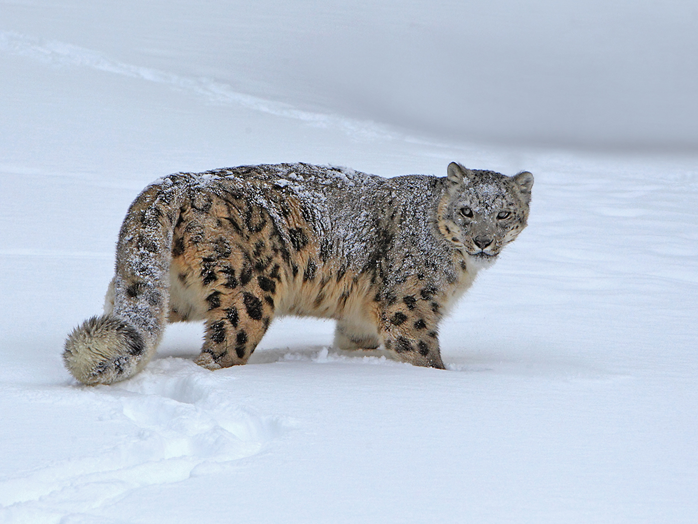 Snow_Leopard%255B2%255D.jpg