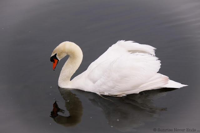 cygne,swan,étang noir,seignosse,hossegor