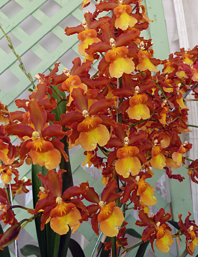 Orchid 'Solar Flame'