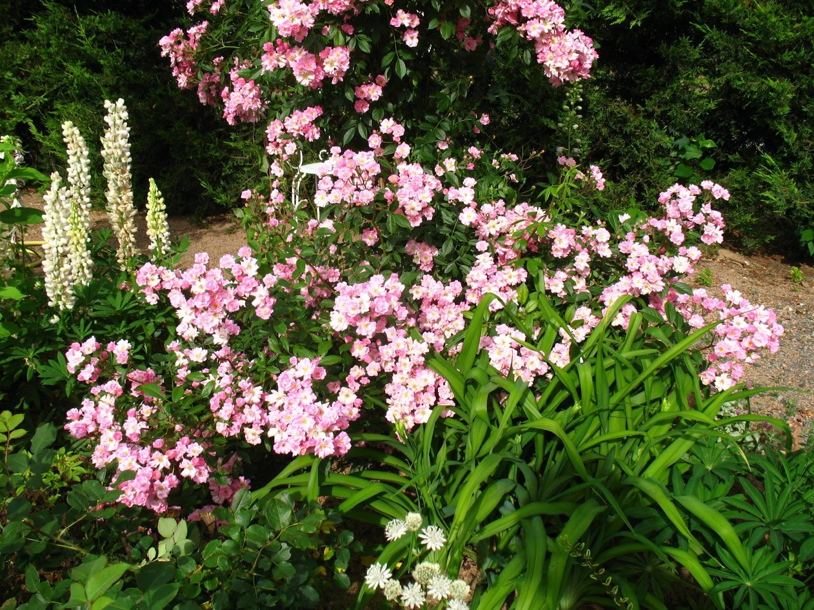 Roses du jardin ch neland rosier marietta silva tarouca - Deplacer un rosier ...