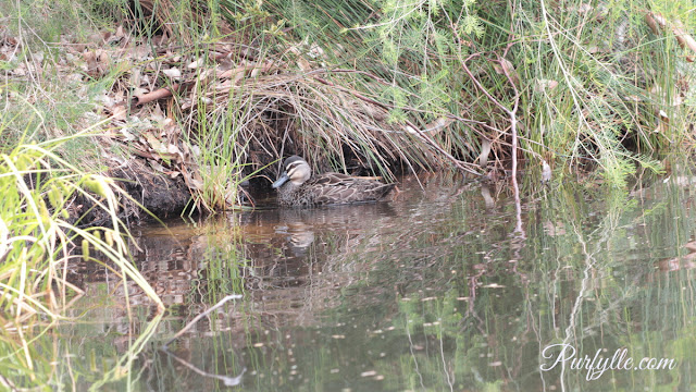 Black duck scouting the underbrush