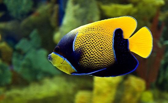 Acomp ame pez ngel o escalar for Pez escalar enfermedades
