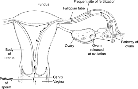 Diagram of the journey of sperm to egg