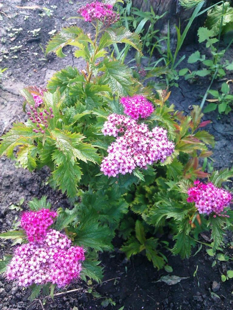 Как определить садовый цветок