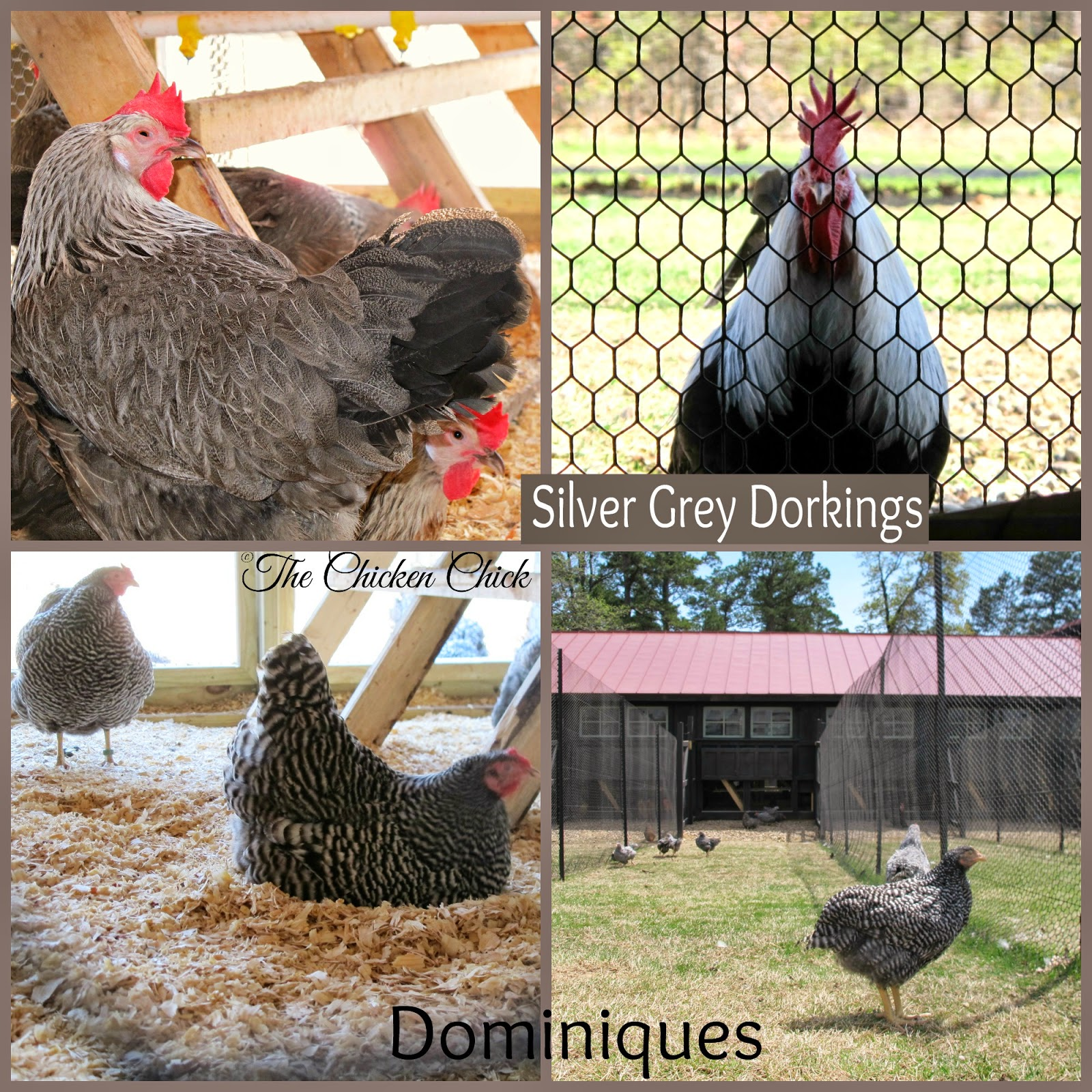 Silver Grey Dorking chickens and Dominique chickens in Poultryville