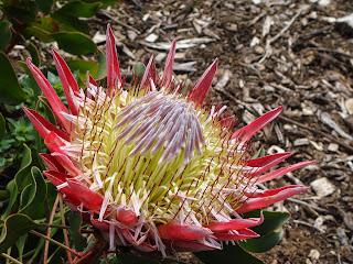 King Protea Kirstenbosch