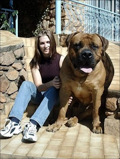 Giant Dogs, How Big It Can Get