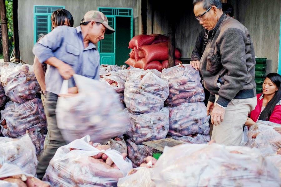 Gia Lai: Khoai mật Chư Đăng Ya