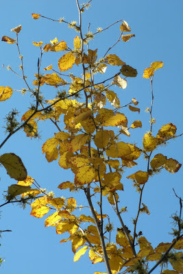 autumn_common_witch_hazel_hamamelis_virginiana against a blue sky_by_garden_muses: a_Toronto_gardening_blog