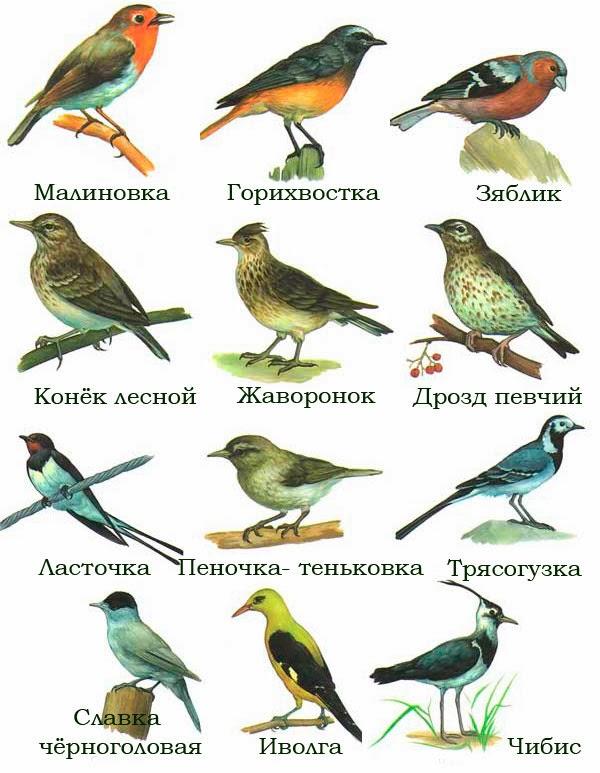 Перелетные птицы: названия для детей, описание, список. Фото 48