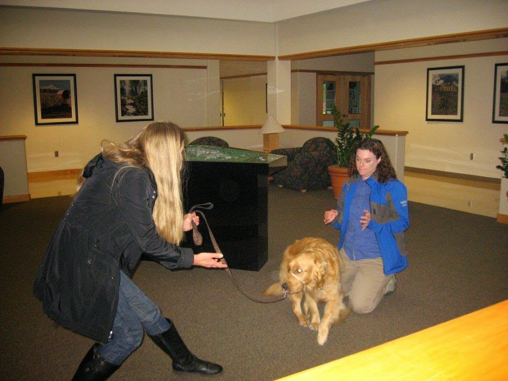 "Karyn and Ceili (Golden Retriever) practice the command ""come"""