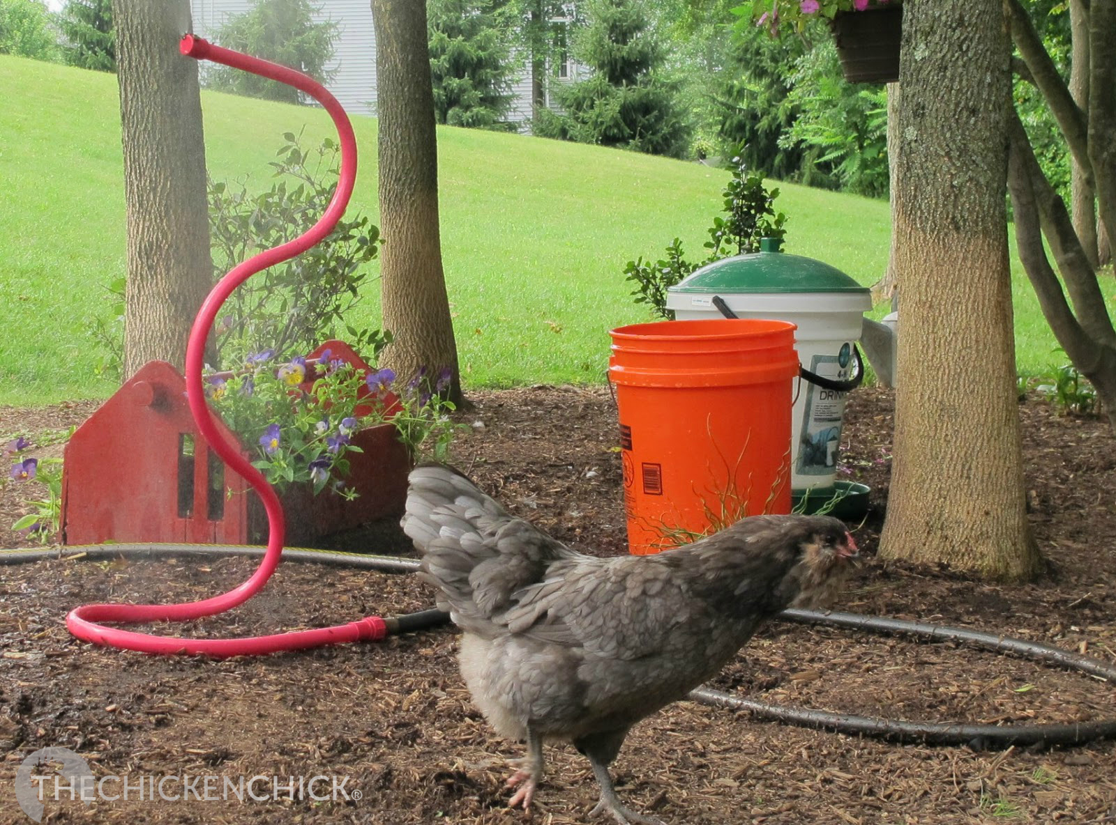 the chicken beat the heat helping chickens survive high temps