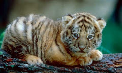 Super Cute Baby Tiger