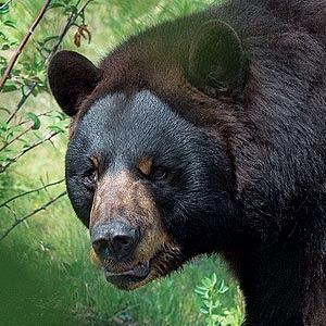 a scary bear