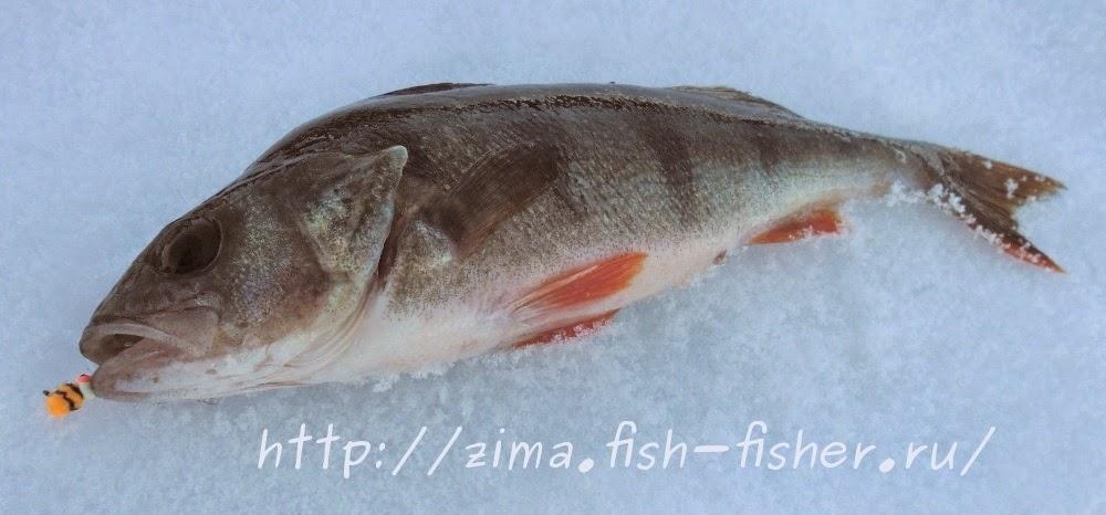 Зимняя рыбалка. Ловля окуня на мормышку
