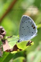 macro papillon d'été argus azuré papillon zen posé
