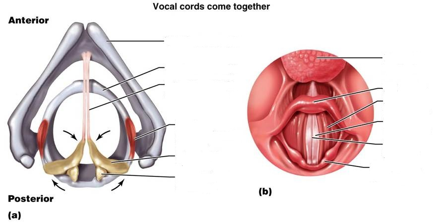 Vocal Folds Diagram Unlabeled Trusted Wiring Diagram