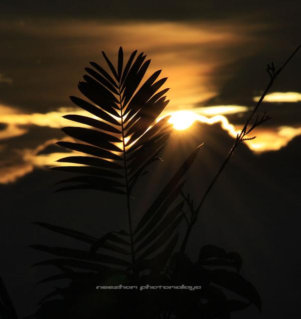 Gambar foto sun sparkle dan silhouette daun di tepi sawah