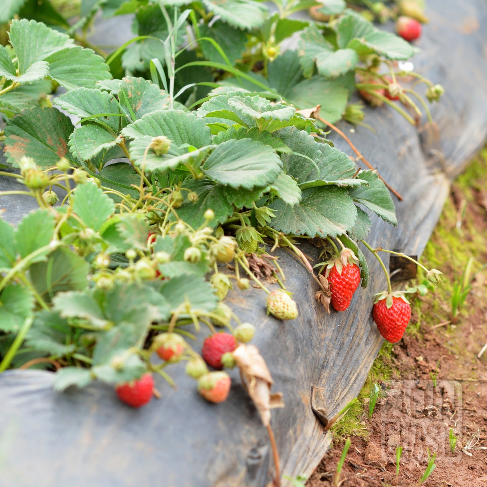 Strawberries growing at a farm near Pyin Oo Lwin, Myanmar.