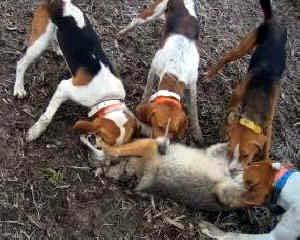 Fox Hunting Dog Training