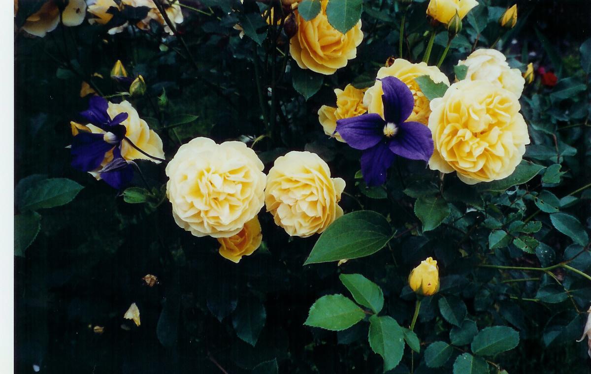 graham thomas my favorite rose. Black Bedroom Furniture Sets. Home Design Ideas