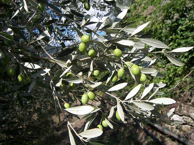 The Menorah News The Olive Tree Symbol Of Judaism