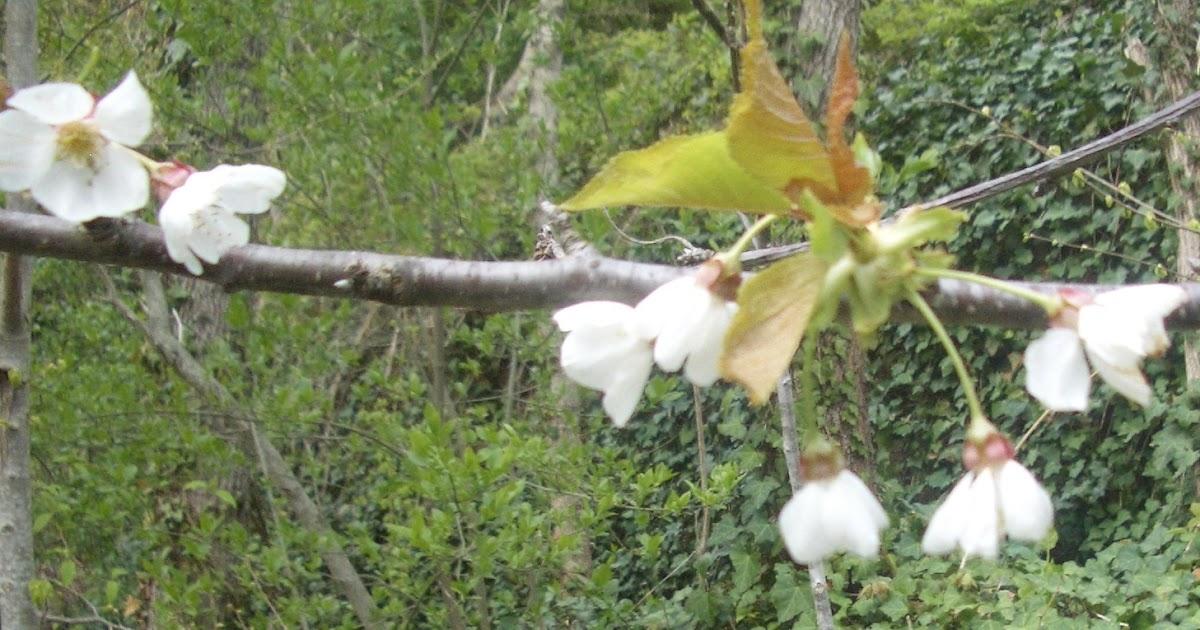 piccoli frutti quando potare il ciliegio