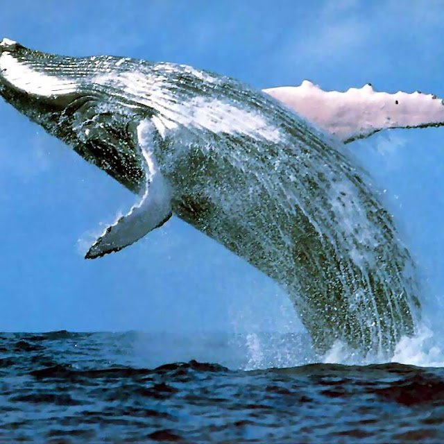 kumpulan gambar paus