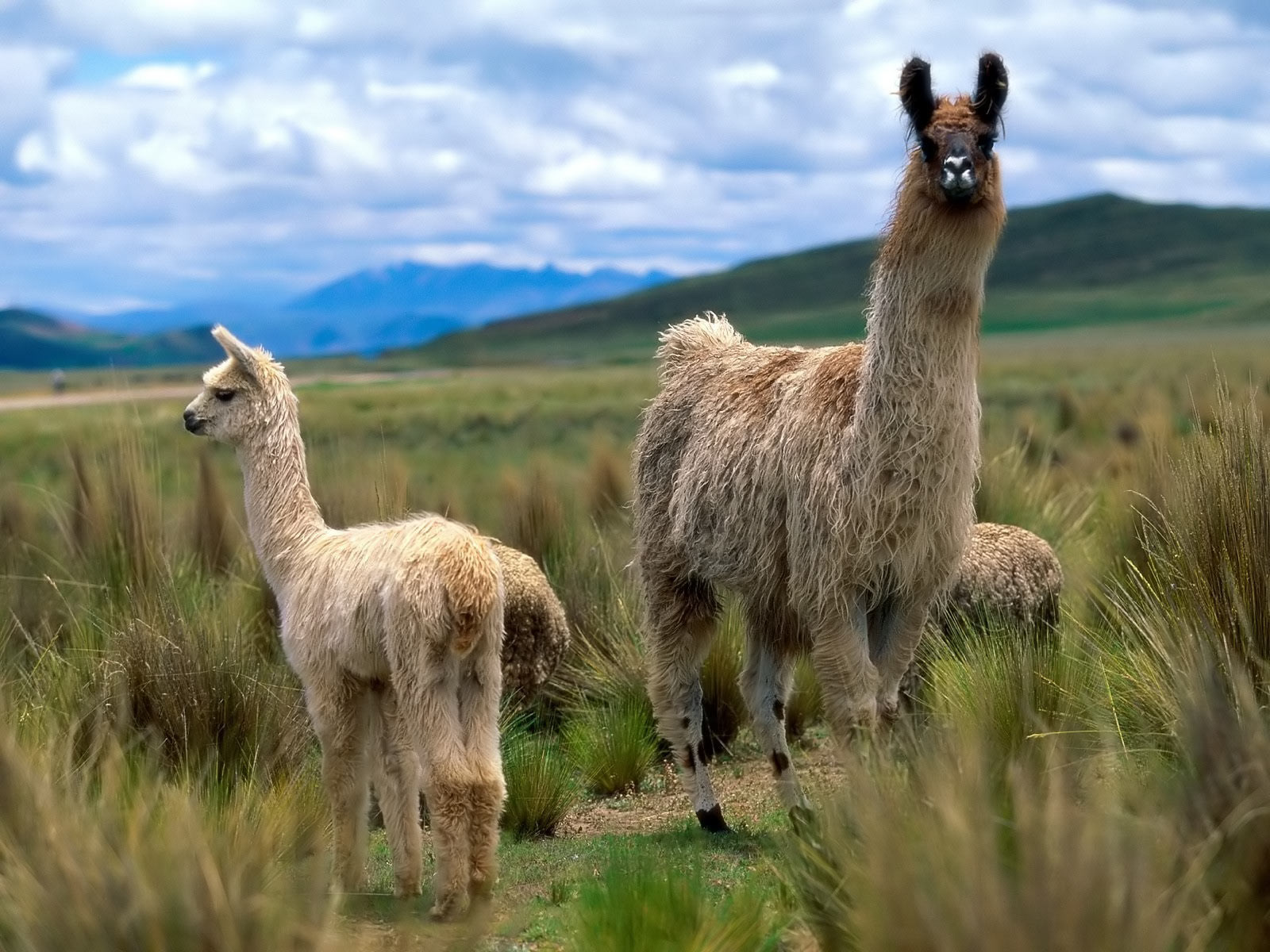 Cute Baby Llamas And Alpacas Of domestic llamas