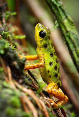 12 fotografas macro de ranas en su hbitat natural (frogs)