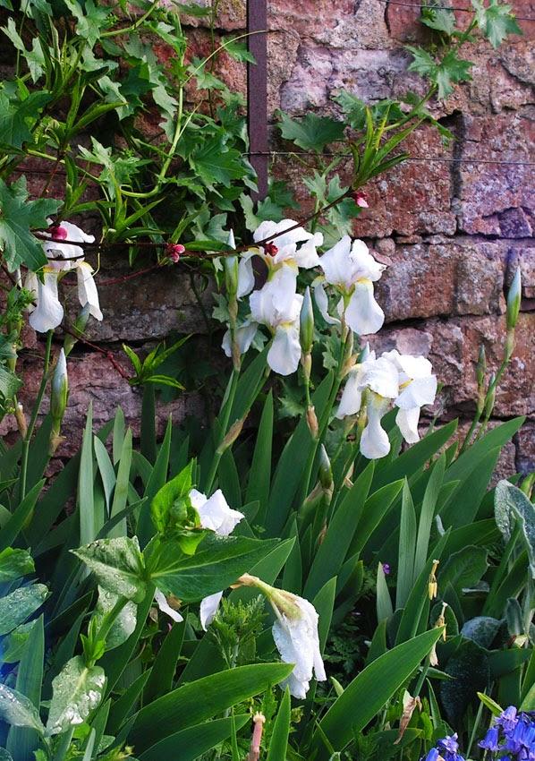 Violrotsiris, Iris florentina, Capellagården
