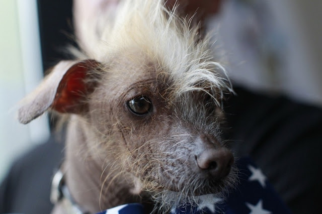 18 photos from 24th annual World's Ugliest Dog Contest, mugly, ugly dogs, world's ugliest dog, ugly dog pictures
