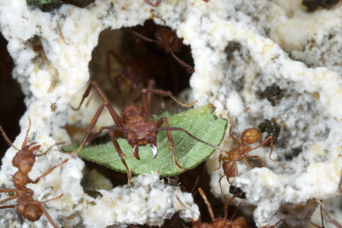 attine ants and fungi relationship to humans