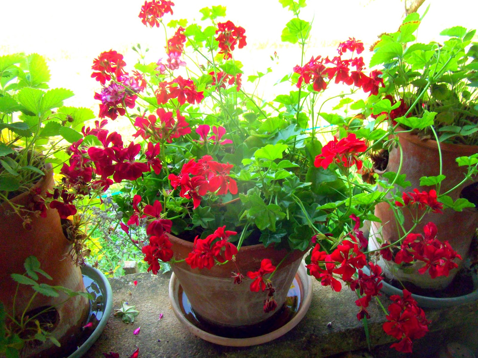 how to cut back geraniums for the winter