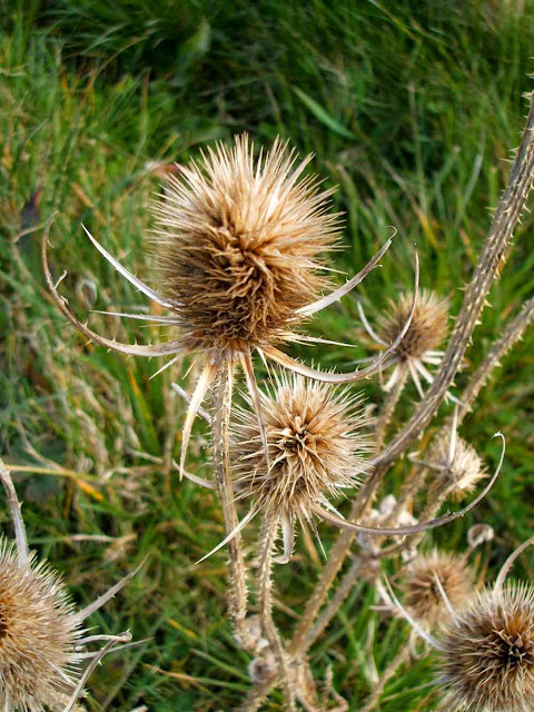 teasel at steart marsh wetlands reserve in somerset