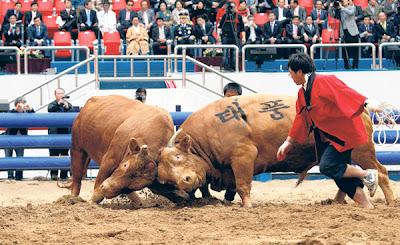 DUA ekor lembu jantan berlaga di Cheongdo pada Rabu lalu.